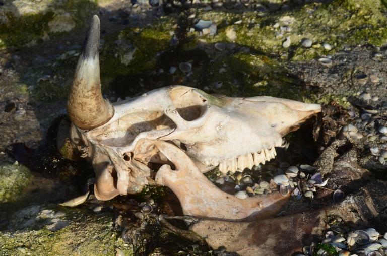 Rekohu-skull